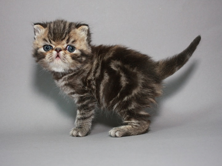 Фото 2/3. Предлагаем шикарного котёнка породы ЭКЗОТ