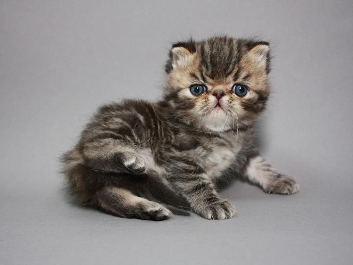Фото 3/3. Предлагаем шикарного котёнка породы ЭКЗОТ