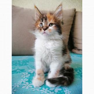 Продажа котенка мейн кун