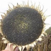 Насіння соняшника Бастен (105 дн) стійкий до 7 рас вовчку під Гранстар