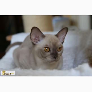 Бурма (бурманские котята)