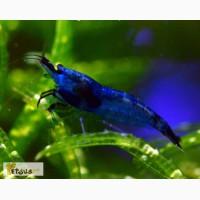 Креветки Синяя Мечта