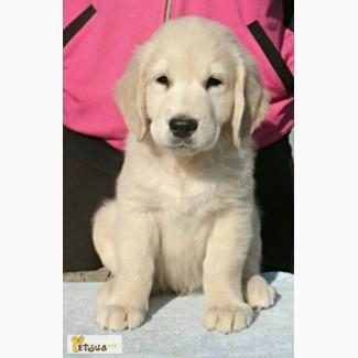 Ретривера превосходные щенки