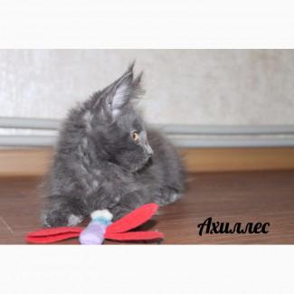 Чудесные котята мейн - кун