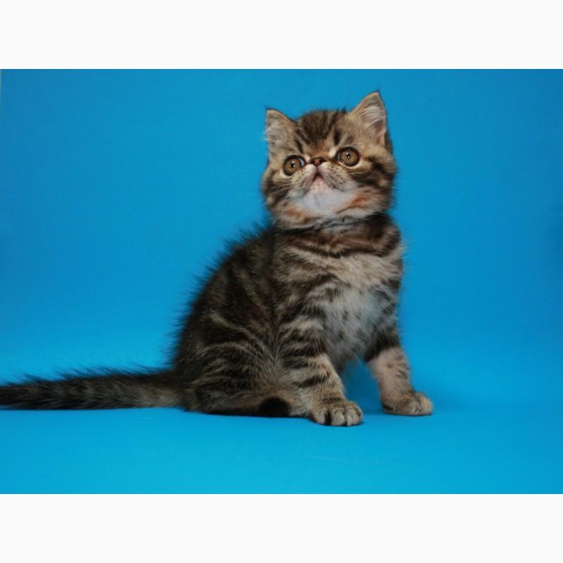 Фото 2/3. Мальчик Экзотический короткошерстный, есть и другие котята