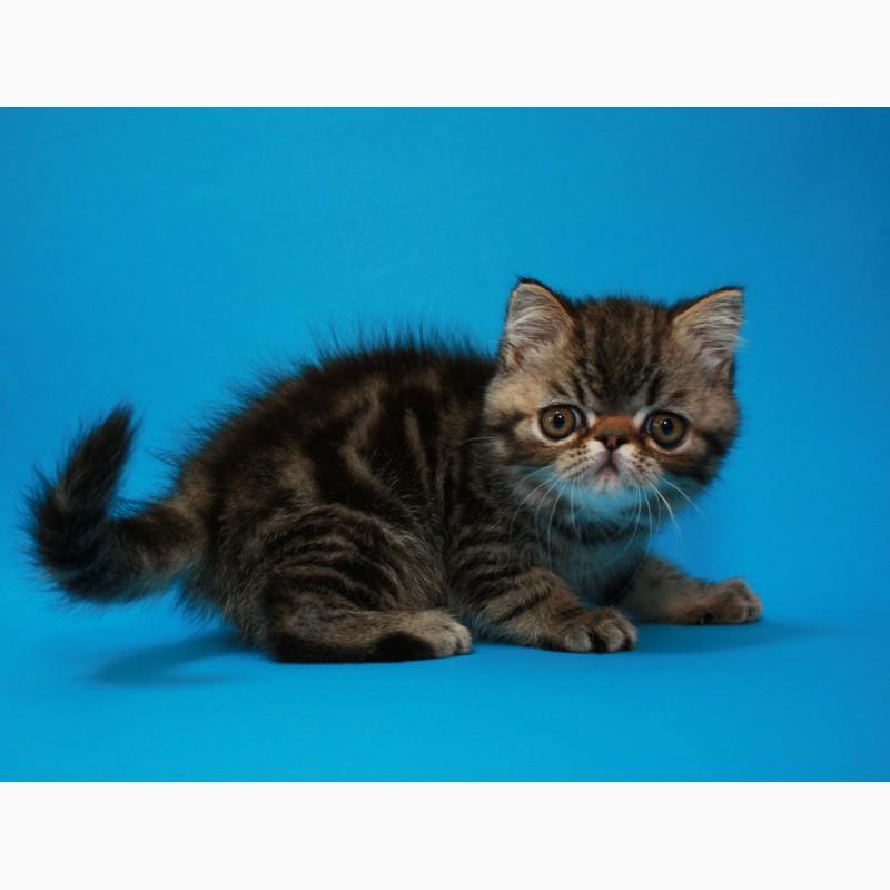 Фото 3/3. Мальчик Экзотический короткошерстный, есть и другие котята