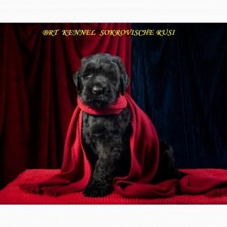 Чистокровные щенки русского чёрного терьера