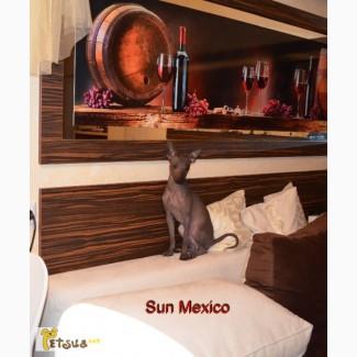 Продам щенка мексиканской голой собаки.