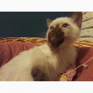 Балинез котята