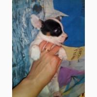 Продам щенков папийонов