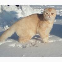 Снежный барс! Продается будущий племенной котик производитель scottish fold редкого тикиро