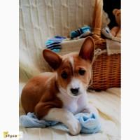 Продаётся элитный щенок-кобель басенджи (африканской нелающей собаки)