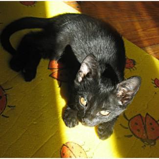 Продам котят бомбейской породы
