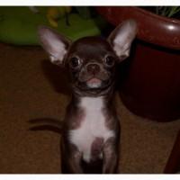 Чихуахуа шоколадный зайчик