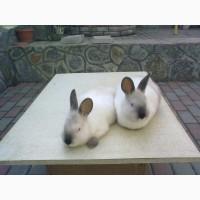 Кролі Каліфорнія-Полтавське Срібло