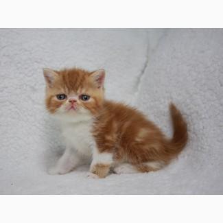 Экзотический котенок в современном типе