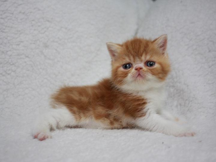 Фото 2/3. Экзотический котенок в современном типе