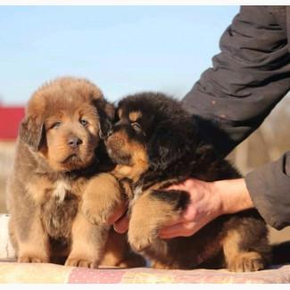 Продажа щенков Тибетского Мастифа