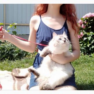 Невская маскарадная кошка ищет жениха