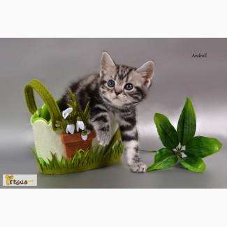 Американская короткошерстная. Котята