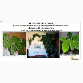 Тетрастигма Вуанье комнатный виноград