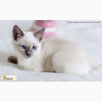Тайские котята. Элита породы
