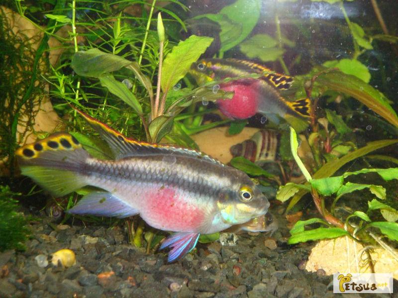 Фото 1/1. Мирные аквариумные рыбки