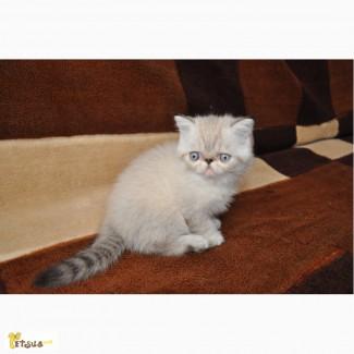 Котик экзотик от питомника
