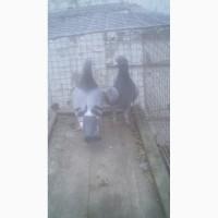 Продам спортивних голубів