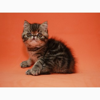 Экзот котенок