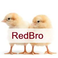 Яйцо Redbro. Редбро Полтава. Инкубационные яйца с Венгрии