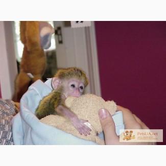Предлагая милые и очаровательные обезьян капуцинов