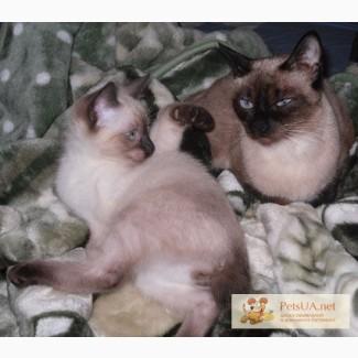 Продам котёнка меконгский бобтейл