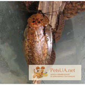 Продам тараканов мадагаскарских