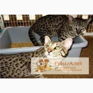Оцелот саванн и сервала котята доступны