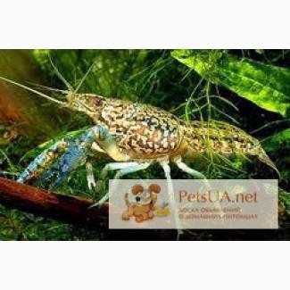 Мраморные раки (Marble Crayfish)