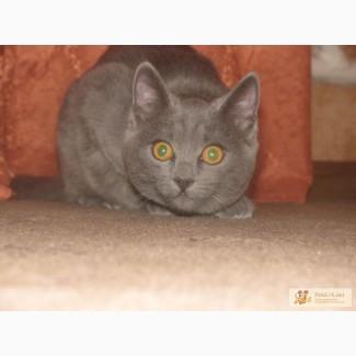 Продам котят породы Шартез