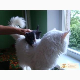 Ангорские пушистые котята разных цветов Турецкая ангора