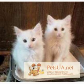 Ангорські пухнасті кошенята різних окрасів