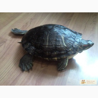 Черепаха красноухая взрослая 5 лет