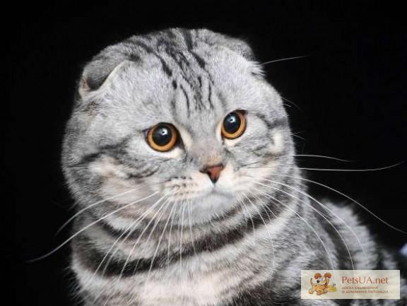 Вислоухие полосатые коты