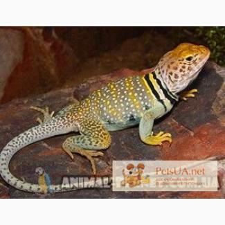 Ошейниковая пустынная игуана