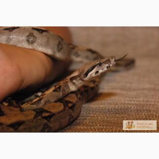 Удавы и Питоны самые грациозные змеи.