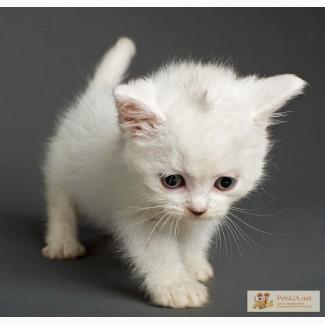 Котёнок ангорской породы, 1 мес.