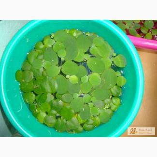 Отдам аквариумные растения
