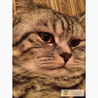 Шотландский кот черный мрамор на серебре
