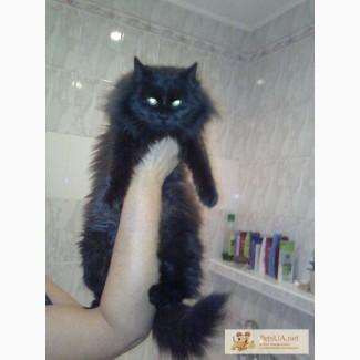 Продам кошку подростка 9 месяцев сибирскую черную с шоколадным оттенком