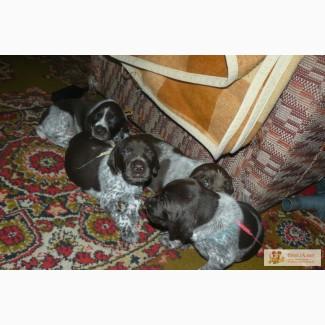 Самые красивы щенки немецкого курцхаара