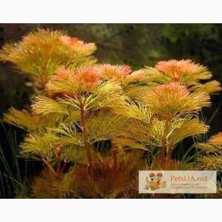 Перистолистник красный, аквариумное растение