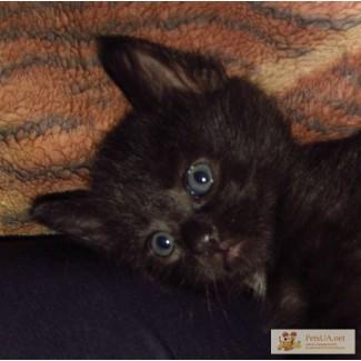 Кошечка Тэра - метиска Турецкой ангоры. ( черная )